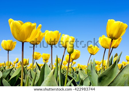 Blossoming tulilps in the countryside from the Netherlands - stock photo