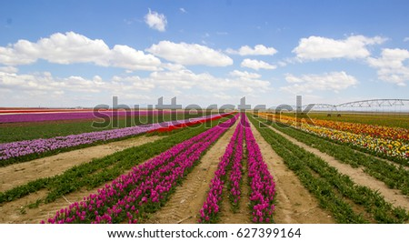 Blossoming tulip fields in a landscape