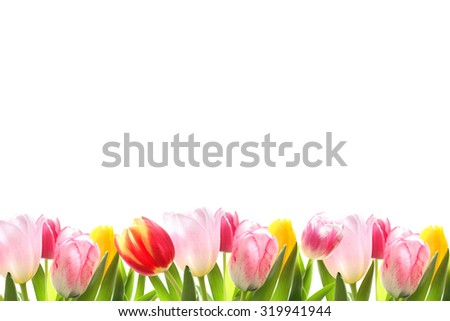 Blossoming tulips decorative border over white background with space for text - stock photo