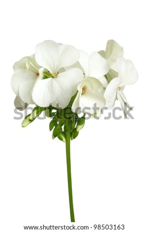 Blossoming white geranium isolated on a white background