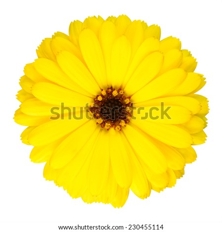Blossoming Yellow Pot Marigold Flower - Beautiful Calendula officinalis in Full Bloom Isolated on White Background. - stock photo