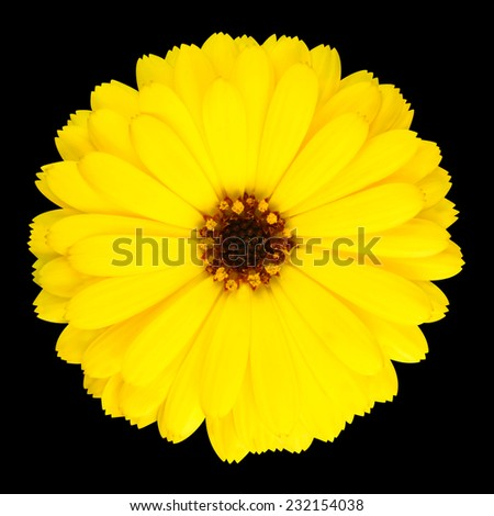 Blossoming Yellow Pot Marigold Flower - Beautiful Calendula officinalis in Full Bloom Isolated on Black Background. - stock photo