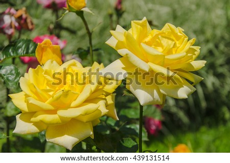 blossoming yellow rose in garden - stock photo