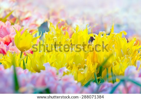 Blossoming yellow tulips  in sunny greenhouse. Pastel spring colors - stock photo