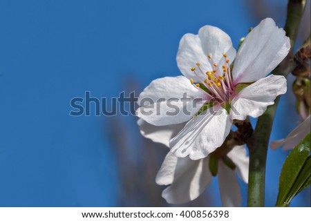 Blossoms at springtime. Flower of almond close-up macro - stock photo