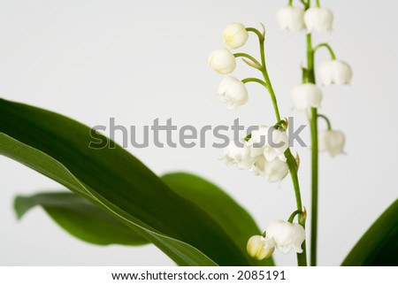blossoms of a lily of the valley
