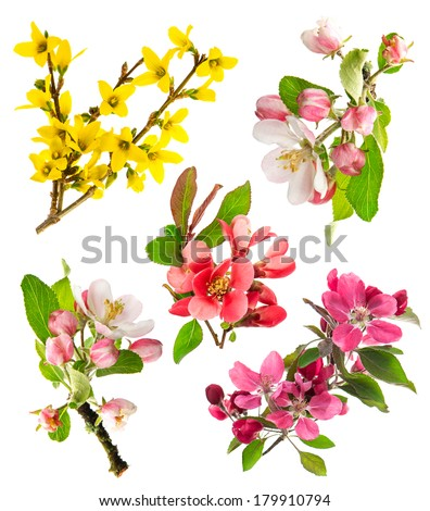 blossoms of apple tree, cherry twig, forsythia. set of spring flowers isolated on white background - stock photo