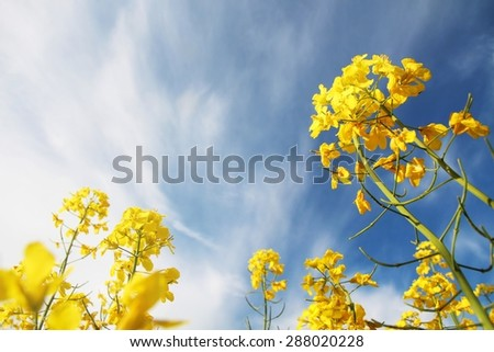 blossoms of canola against a blue sky with clouds. Spring nature background. - stock photo