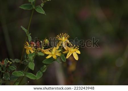 Blossoms of spotted St Johns wort (Hypericum maculatum ssp obtusiusculum). - stock photo