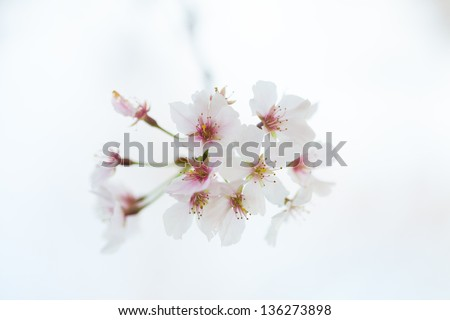 Blossoms of the Bradford Pear tree against a cloudy sky