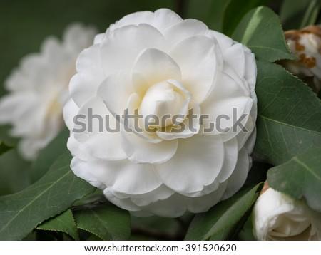 Blossoms of white camellia , Camellia japonica - stock photo