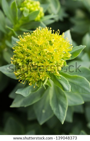 Blossoms Rhodiola rosea root or Golden Root, he same Roseroot, Aaron Rod