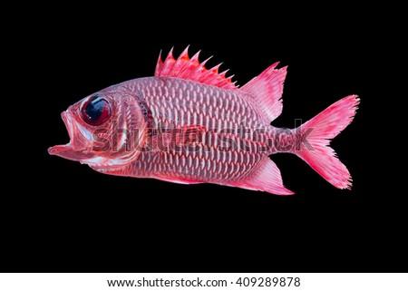 Blotcheye soldierfish /Also known as Crimson Soldierfish, Crimson Squirrelfish, Red Soldierfish, Big-eye Soldierfish and Pinecone Soldierfish/fish isolated on black /colorful fish  - stock photo