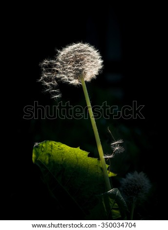 Blow ball of dandelion flower isolated on black background. Dandelion isolated on the black background with flying seeds. - stock photo