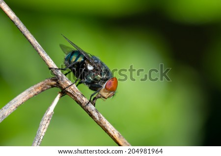 blow-flies, carrion flies, bluebottles, greenbottles, or cluster flies ( calliphoridae, lucilia ) - stock photo