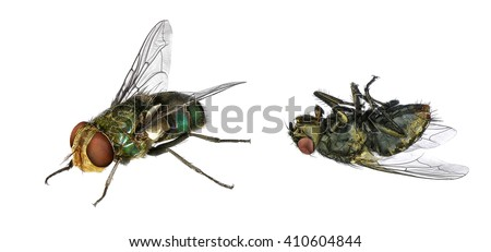 Blow fly (Lucilia caesar, Calliphoridae) live and dead. Macro. Isolated on the white background - stock photo