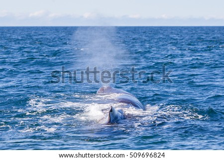 Blowout of a large Sperm Whale near Iceland (Atlantic ocean)