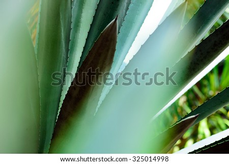 blue agave (detail) - stock photo