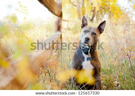 Blue American Pit Bull Terrier sitting by fence in park - stock photo