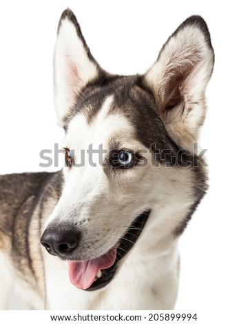 Blue and brown eyed husky dog profile looking off to the side - stock photo