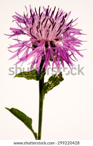 Blue and Cyan Colored Cornflower Isolated on White - stock photo
