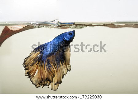 Blue and gold dragon scale Betta Splendons fish or Siamese fighting fish with bubble nest - stock photo