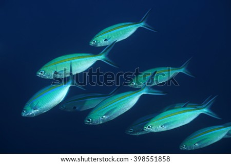 Blue and gold fusilier in Bali sea - stock photo