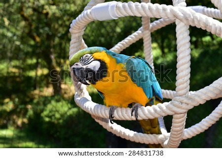 Blue and Gold Macaw being playful.parrot