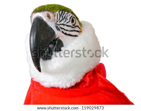 Blue and Gold Macaw in Christmas suit