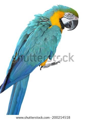Blue and Gold Macaw isolated on white