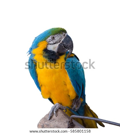 Blue and gold macaw isolated on white background with clipping path