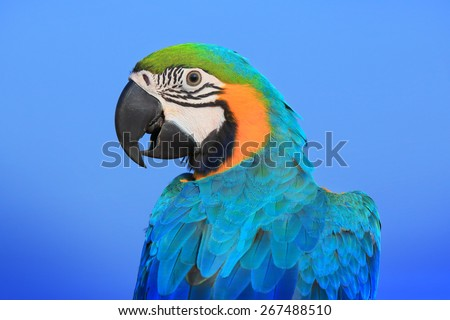 Blue and Gold Macaw,macaw,beautiful bird, parrot  - stock photo