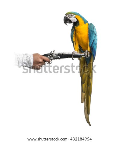 Blue-and-gold Macaw perched on a pirate gun, isolated on white - stock photo