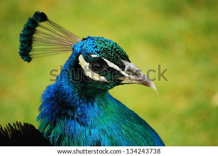 Blue and green peacock head