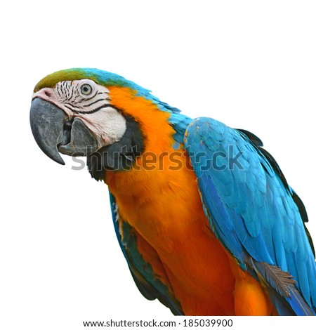 Blue and orange macaw parrot closeup, white background  - stock photo