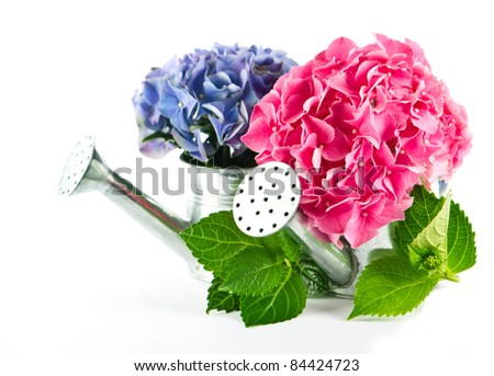 blue and pink hydrangea blooms in watering can - stock photo