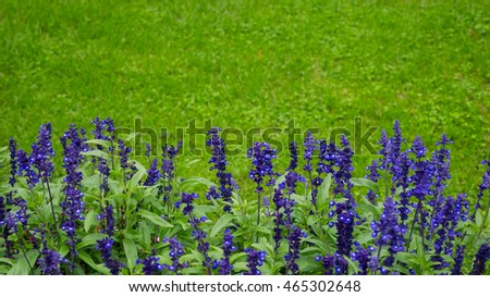 Blue and purple delphinium flowers on green background