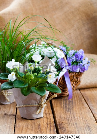 blue and white Campanula terry flowers, and white Saintpaulias flowers in paper packaging, on sackcloth wooden background - stock photo