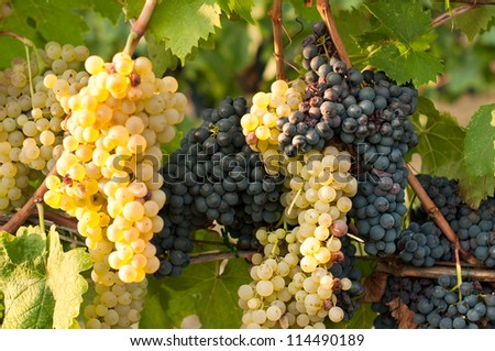 Blue and white grapes on a vine