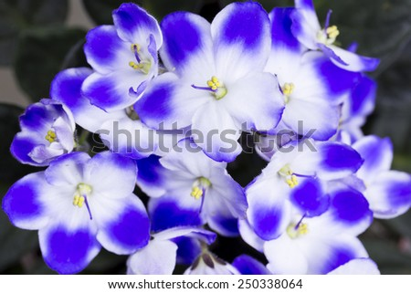 Blue and white violet blooming - stock photo