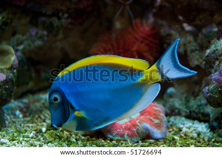 Blue and yellow coral fish