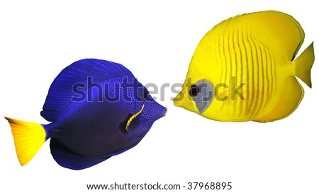 Blue and yellow fishes isolated on white background - stock photo
