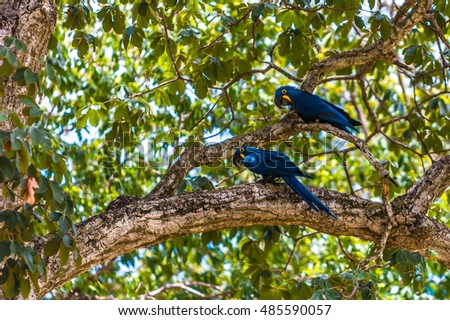 Blue and yellow hyacinthe macaw