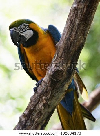 Blue-and-yellow Macao parrot sitting on a thick branch, Iguazu, Brazil