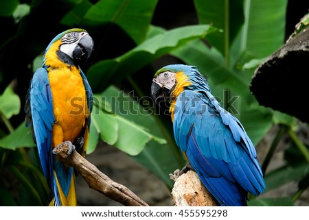Blue-and-yellow macaw (Ara ararauna), Macaw parrot