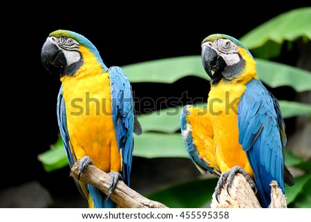 Blue-and-yellow macaw (Ara ararauna), Macaw parrot - stock photo