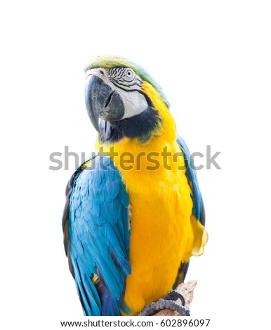 Blue-and-yellow macaw (Ara ararauna), Macaw parrot isolated on a white background