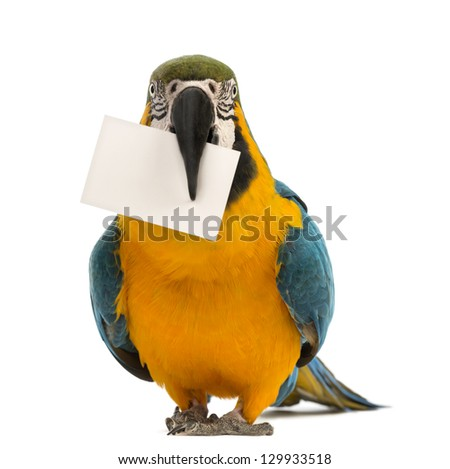 Blue-and-yellow Macaw, Ara ararauna, 30 years old, holding a white card in its beak in front of white background - stock photo