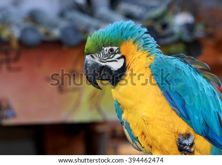 Blue and yellow Macaw close up - stock photo