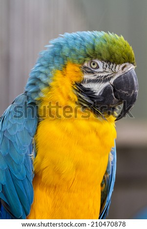 Blue and yellow Macaw closeup